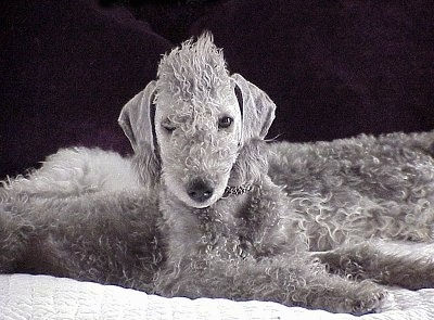 Grey Bedlington Terrier dog
