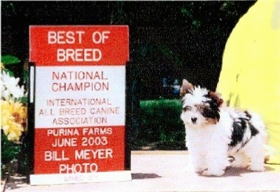 Biewer Puppy standing in front of a sign that says 'BEST OF BREED NATIONAL CHAMPION INTERNATIONAL ALL BREED CANINE ASSOCIATION PURINA FARMS JUNE 2003 BILL MEYER PHOTO'