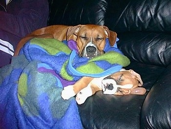 Ozzie the Boxer puppy is asleep on a black leather couch with a blanket over him and Reese the Boxer is asleep on top of him