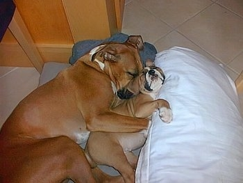 Reese the Boxer cuddling with Ozzie the Boxer puppy on the floor on top of blankets and a pillow