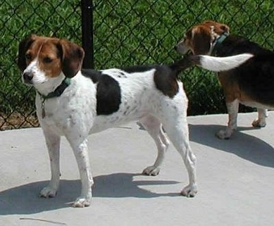 Two Beagles are on a sidewalk in front of a chain link fence