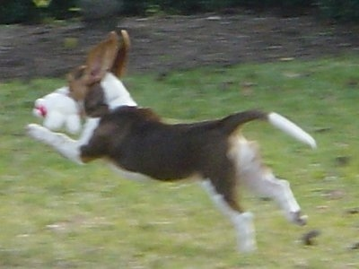 Taffy the Beagle has all 4 paws off the ground running across a yard with a toy in her mouth