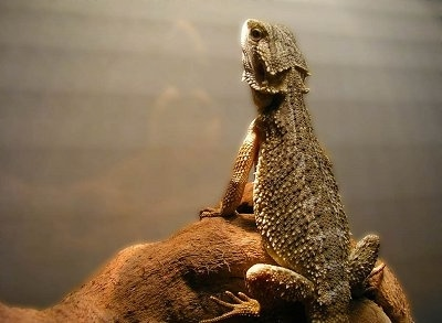 The backside of a Bearded Dragon that is standing on a rock and looking up at a heat lamp.