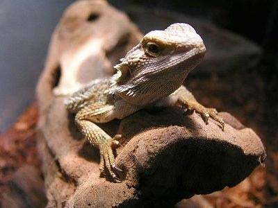 Close up - A Bearded Dragon is standing on a log under a heat lamp looking up.