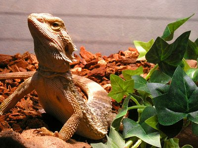 Close up - A Bearded Dragon is standing on a log and next toit is a plant. It is looking up and to the left.