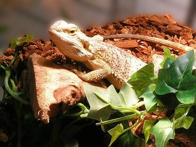 A Bearded Dragon is standing on a rock and it is looking forward. There is a green plant next to it.