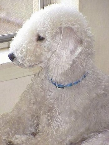 White Bedlington Terrier dog