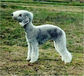 Side view - a gray dog with a high arch and curly fuzzy fur standing outside. It has longer hair down the front of its face, legs and the ends of its hanging ears.