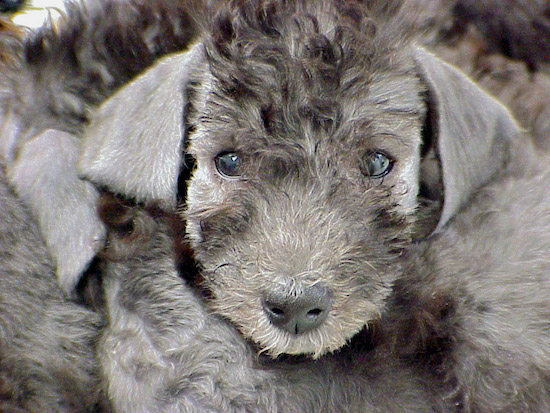 Bedlington Terrier dog sitting