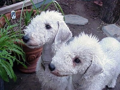 2 White Bedlington Terrier dog