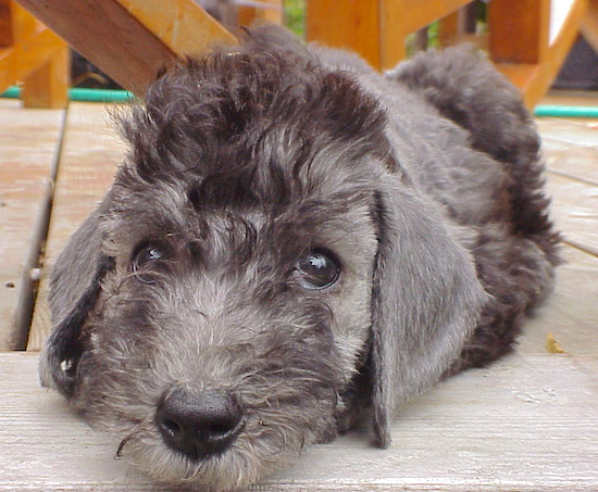Bedlington Terrier laying on a wooden deck