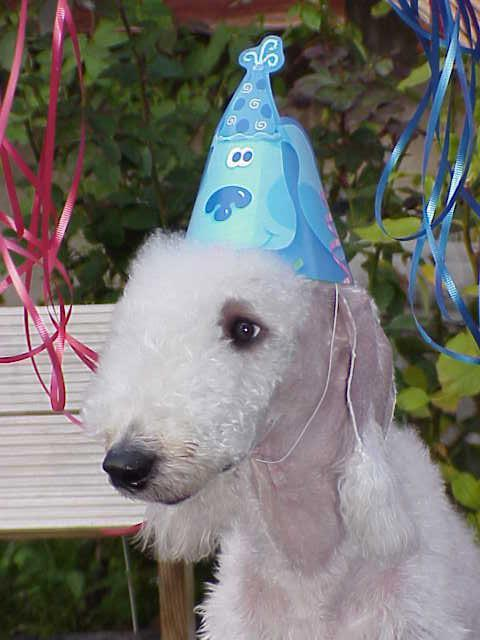 Bedlington Terrier dog's Birthday party
