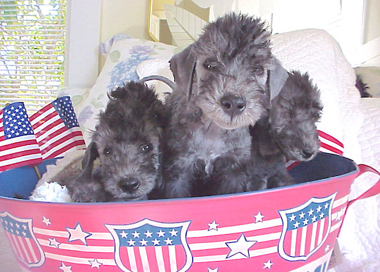 Three Bedlington Terrier puppies sitting in an American flag bucket