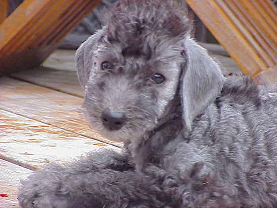 Close Up - Bedlington Terrier laying on a wooden deck