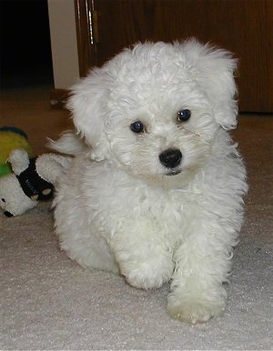 Bichpoo Dog Breed Information and Pictures