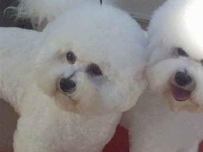 Close Up - Two Bichon Frises