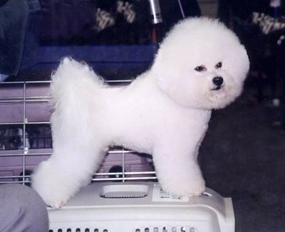 Bichon Frise Puppies on Bichon Frise Information And Pictures  Bichon Frises  Bichons