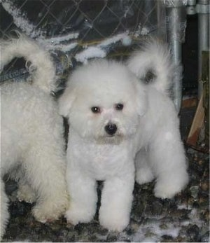 Bichon Frise puppy sitting in front of a chain link fence behind another dog