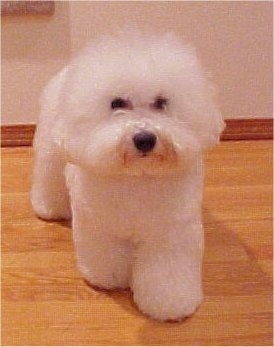 Bichon Frise standing on a hardwood floor facing the camera