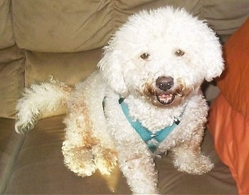 Max the Bichon Frise sitting on a couch with his mouth open wearing a teal harness