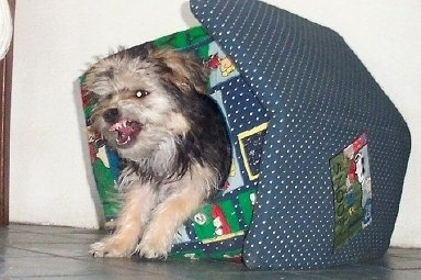 Bichon Yorkie popping out from the inside of an indoor plush doghouse bearing its teeth