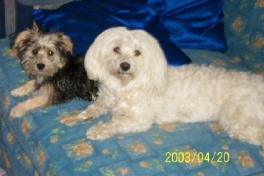 Kajsa-Pajsa the Bichon Yorkie and Bombom the Bichon Havanese laying on a bed with silky royal blue pillows behind them