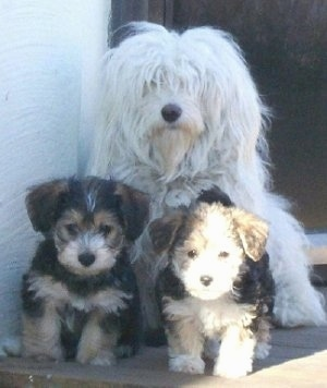 Bombom the Bichon Havanaise sitting behind Kassandra and Katsy the Bichon Yorkie puppies