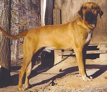 Black Mouth Cur standing outside on a chain in dirt in front of a building