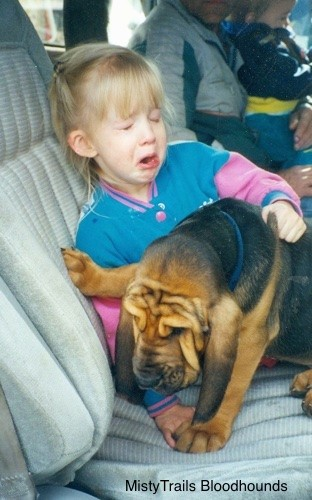 A wrinkly black and brown Bloodhound puppy is laying across the legs of a crying blonde-haired girl in the back of a vehicle.