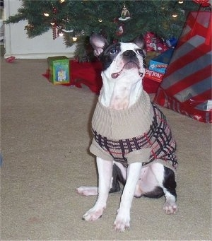 Lui Valentine the Boston Terrier wearing a sweater sitting in front of a Christmas tree looking up