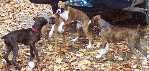 Four Boxers playing outside behind a car with a lot of colorful leaves on the ground