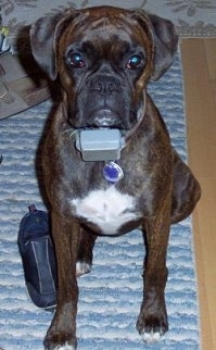 Boxer Dog Breed Pictures 10