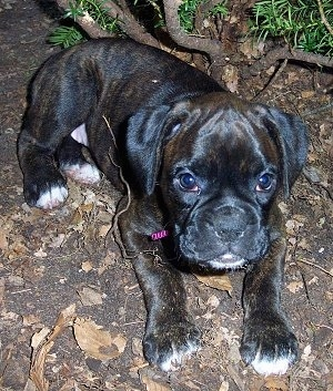 Gypsy Rose the Boxer Puppy laying outside on a leafy blacktop
