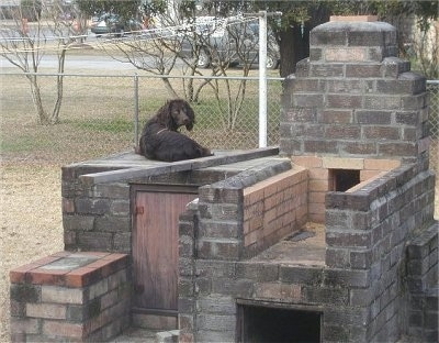 Sadie the Boykin Spaniel laying on an outside brick fireplace structure