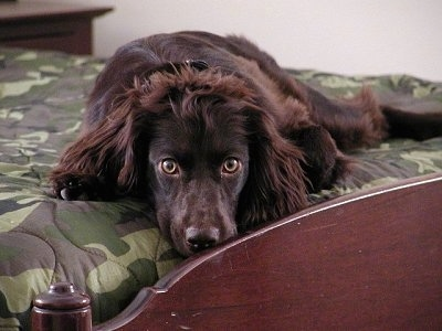 Sadie the Boykin Spaniel laying on a bed