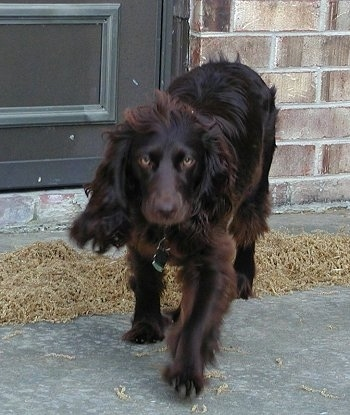 Sadie the Boykin Spaniel walking outside with a brick house behind him