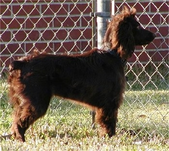 Left Profile - Sadie the Boykin Spaniel standing sideways in front of a chain link fence