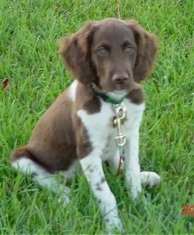 Owen the Brittany Spaniel Puppy sitting in grass