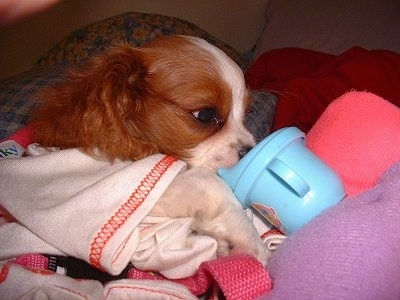 Dillion the Cavalier King Charles Spaniel puppy is laying on a bed and drinking from a light blue sippy cup