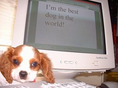 Dillion the Cavalier King Charles Spaniel puppy is sitting in between a CRT Monitor and a keyboard. On the Monitor Microsoft Word is open and in the document the words - I'm the best dog in the world! - are shown