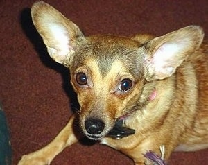 Head and upper body shot - A perk-eared, small breed, large-eared, black with brown Chihuahua mix is sitting on a brown carpet looking up.