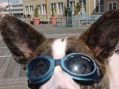 Close Up - Bailey the Cardigan Welsh Corgi Puppy is wearing sunglasses and looking into the camera with the Boardwalk in the Background