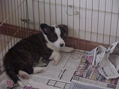 Bailey the Cardigan Welsh Corgi Puppy is laying on newspapers in the corner of a metal pen