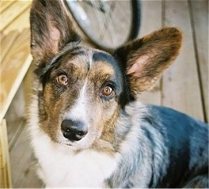 Cardigan Welsh Corgi Puppy Dogs