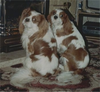 Danny and Ben the Cavalier King Charles Spaniels are sitting on a rug in front of a fireplace and looking back towards the camera holder