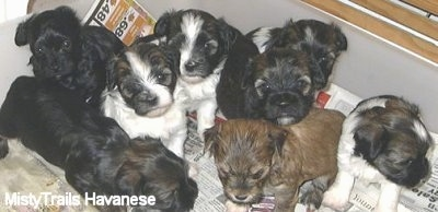 A litter of 8 Havanese puppies are sitting on newspapers inside of a whelping box.