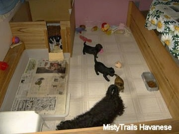 A whelping box with a mother dog and her puppies inside. Three Havanese puppies are following a black Havanese around. There are three other Havanese puppies in the sleeping part of a whelping box