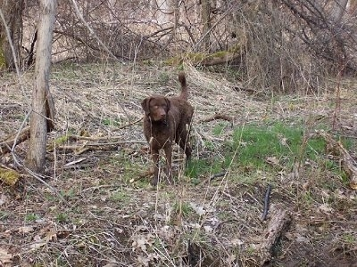 Beau the Chesapeake Bay Retriever is walking through a wooded area