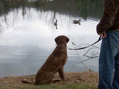 Beau the Chesapeake Bay Retriever is sitting in front of a pond and looking at the two ducks swimming in it. There is a person next to Beau and they are holding his leash
