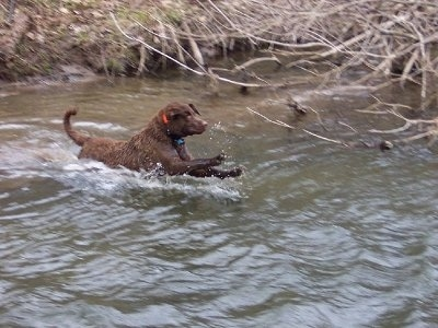 Action shot - Beau the Chesapeake Bay Retriever is jumping into a body of water